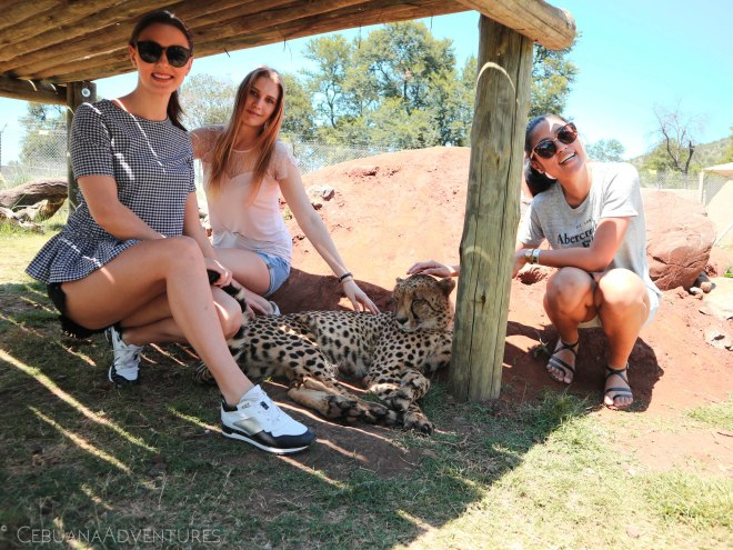 Lion-And-Safari-Park-Cheetah-Encounter