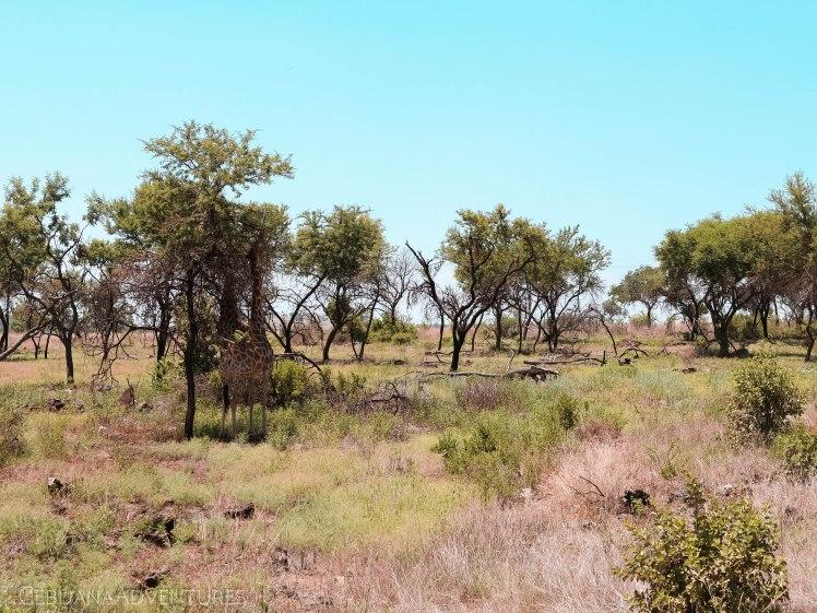 Lion-And-Safari-Park-Giraffes