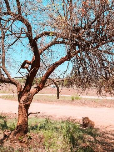 Lion-And-Safari-Park-Lion-Encounter