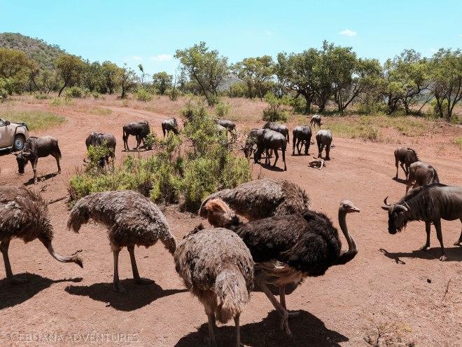 Lion-And-Safari-Park-buffalo-ostrich
