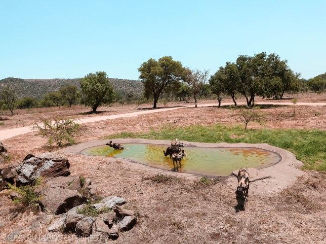 Lion-And-Safari-Park-Wild-Dogs